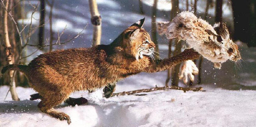 Phoenix Rising Jungle Book 035 - Bobcat hunting Snowshoe Rabbit; DISPLAY FULL IMAGE.