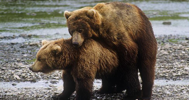 Image result for Brown bear image