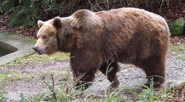 Brown Bear, Zoo, Wuppertal, Bear